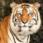Доклад животные красной книги амурский тигр