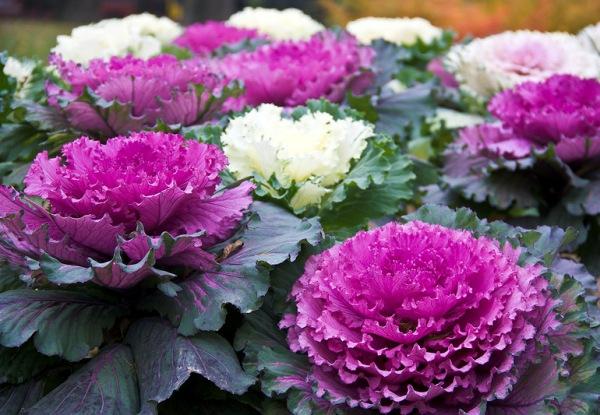 Декоративная капуста растение цветника