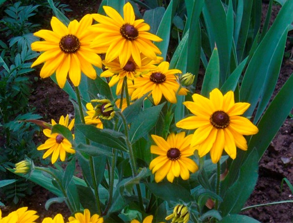 Рудбекия растение цветника