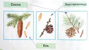 Узнай хвойные деревья по шишкам. Соедини линиями рисунки и названия.