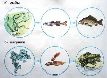 Модели развития рыбы, лягушки