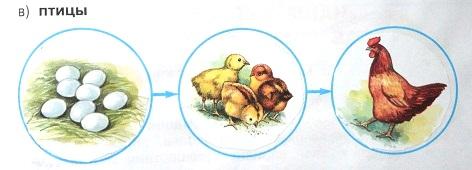 Модель развития птицы