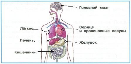 Укажи стрелками внутренние органы, названия которых подписаны.