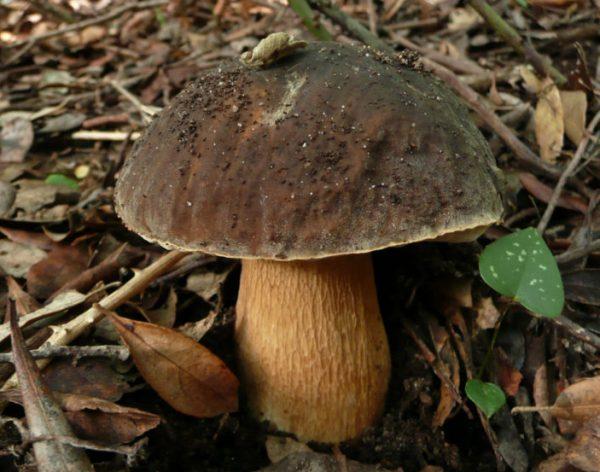 Белый гриб как выглядит