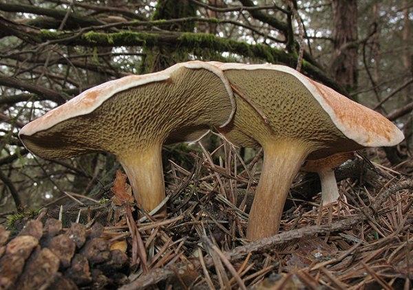Как выглядит гриб козляк