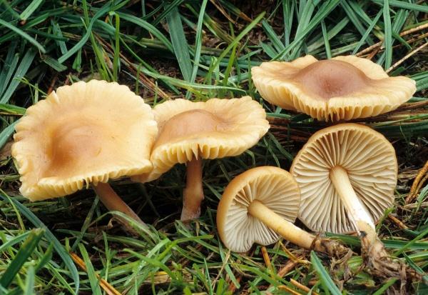 Как выглядит гриб опенок луговой