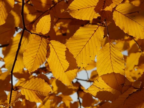 Как осенью меняют цвет листья ольхи