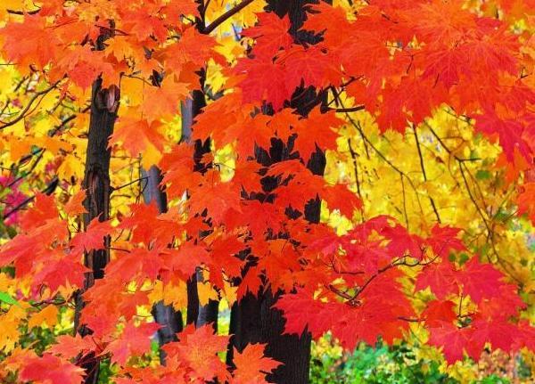 Как меняют цвет листья клена