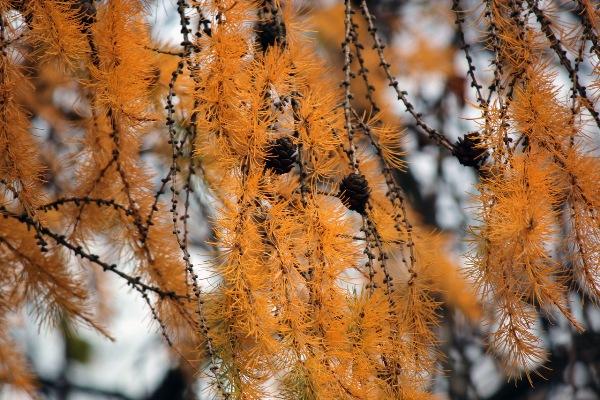 Как меняются листья осенью у лиственницы