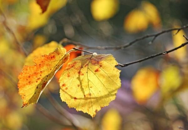 Как осенью меняют цвет листья орешника (лещины)