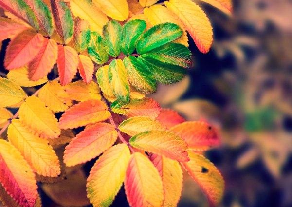 Листья рябины осенью