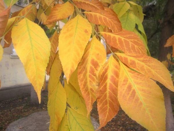 Как осенью меняют цвет листья ясеня