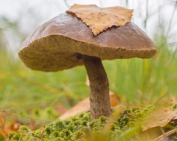 Как выглядит гриб подберезовик
