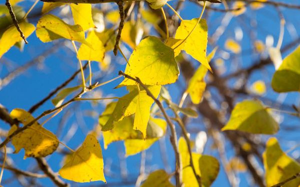 Листья тополя осенью