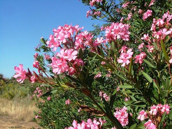 Вечнозеленый кустарник олеандр