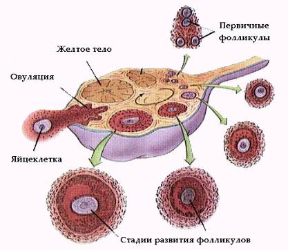 Промежуток времени между овуляцией и началом менструального кровотечения называется лютеиновой фазой цикла...