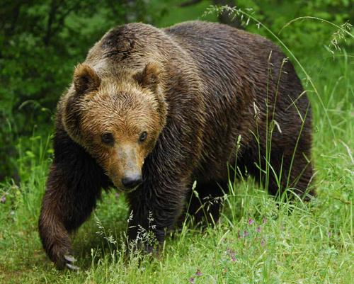 Доклад о буром медведе